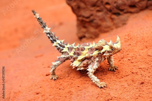 Foto Thorny Devil Lizard In Arid Landscape