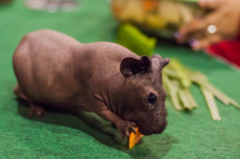 Close-up Of Skinny Pig Eating Food On Table