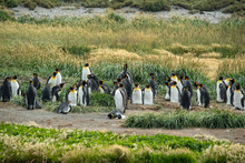 Colony Of King Penguins Of Oce...