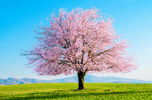 Blooming Sakura Tree. Ornamental Japanese Pink Cherry Blossoms On A Green Meadow With A Blue Sky Without Clouds.