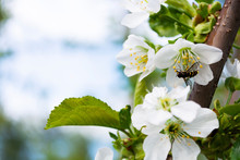 Bee Pollinates White Flowers O...