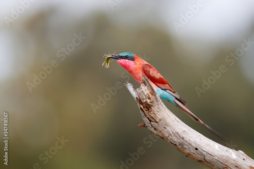 Foto Southern carmine bee eater with a grasshopper is sitting on a branch in Kruger N