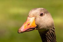 Goose Looking In Camera, Close...