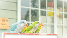 Fischer Lovebirds Against Building