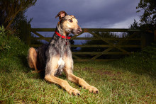 Beautiful Lurcher Looking Off Into The Distance At Dusk. Dog Sitting In Front Of Traditional Five Bar Farm Gate. Vibrant Colour And Space For Copy / Text.