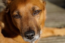 Close-up Portrait Of Brown Dog Lying On Floor