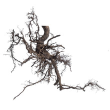 Complex Branching Roots Tree Isolated On A White Background.