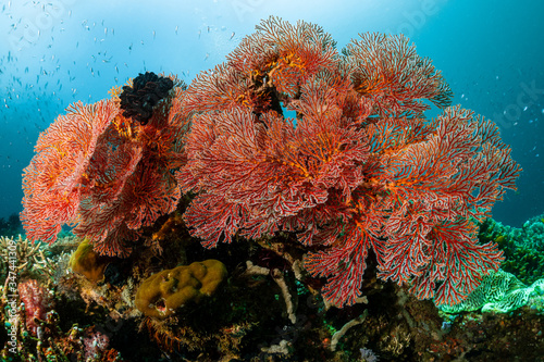 Photo magnificient red gorgonian soft coral