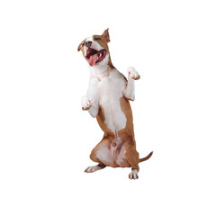 A Happy Large Dog Stands On Its Hind Legs. Dog Isolated On White Background