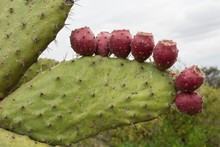 Close-up Of Fruits Growing On Prickly Pear Cactus