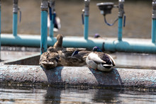 Mallard Duck At The Old Fountain In The Lake. Sunny Day.