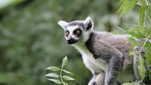 Portrait Of Lemur