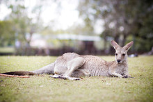 Kangaroo Relaxing On Grassy Field