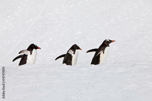 Penguins On Snowfield Tablou Canvas