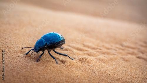 Obraz na płótnie Dung Beetle crawling the dunes in Erg Chebbi