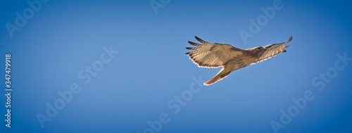 Valokuva Low Angle View Of Hawk Flying Against Clear Blue Sky