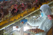 Employee Egg Farm Moving Eggs To The Packing House Men, Personal Protective Clothing, Disease Prevention, Covid 19 Collecting Eggs At A Chicken Farm