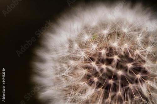 Fototapeta Close-up Of Dandelion Flower Against Black Background obraz na płótnie