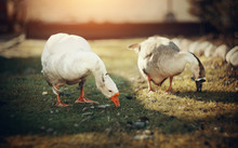 Two Domestic Geese Walk