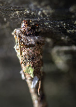 Evergreen Bagworm Moth Coming Out Of Its Case Along The Nature Trail In Pearland!