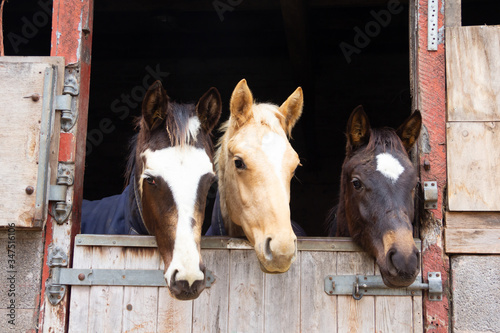 Fotografie, Obraz Three ponies sharing a stable watch life over the door.
