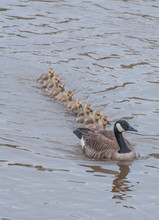 Canada Goose With Cygnets Swim...