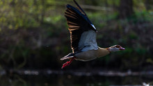 Close-up Of Egyptian Goose Flying