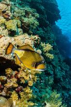 Large Titan Triggerfish Fish ...