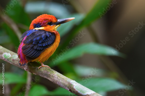 Close-up Of Oriental Dwarf Kingfisher Perching On Branch Fototapete