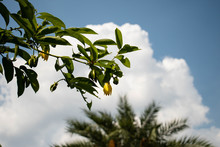 Green Leaves And Yellow Flower...