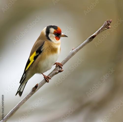 Canvastavla Goldfinch Perching On Twig