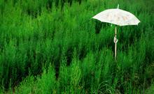 Green Grass With Umbrella