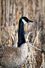 Isolated Portrait Of A Canada Goose In Natural Marsh Habitat.