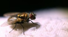 Close-up Of Housefly On Fabric