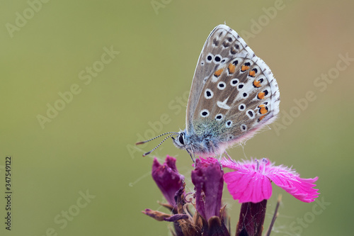 Photo Adonis Blue butterfly (Lysandra bellargus) on pink flower