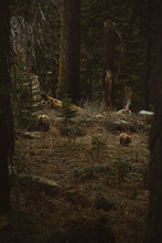Wild Bears In The Woods Mom An...