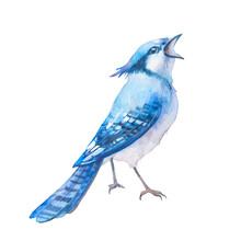 Isolated Blue Jay Artwork. Sin...