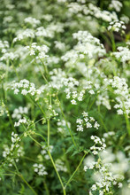 White Flowers Of Cow Parsley (...