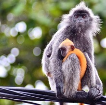 Silvery Lutung With Infant On Power Cable