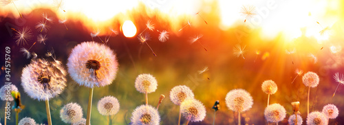 Fotografie, Obraz Dandelion Field With Flying Seeds At Sunset