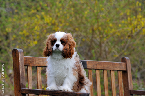Cuadros en Lienzo Cavalier King Charles Spaniel Relaxing On Park Bench