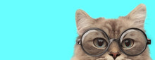 Funny Nerdy Metis Cat Hiding H...