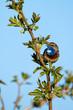 Śpiewający podróżniczek - barwny ptak na gałązce.