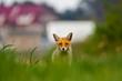 Spoglądający na wprost lis. Dzikie zwierzę wpatrujące się w obiektyw