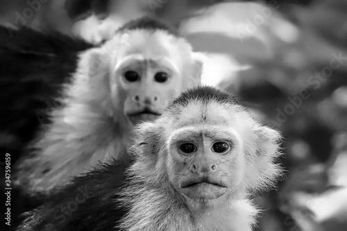Close-up Portrait Of Capuchin Monkeys Fototapet