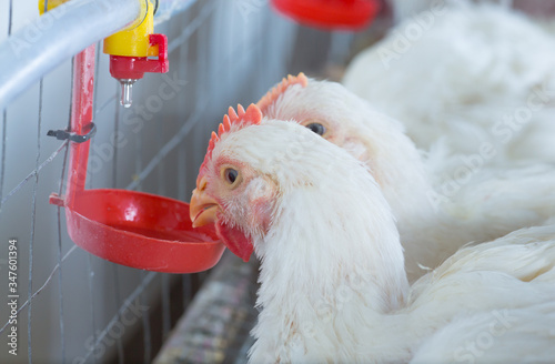 Fototapeta chicken and chicken production at the poultry farm.