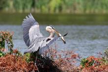 Close-up Of Great Blue Heron At Lakeshore