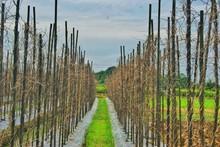 Dried Vines In Vineyard Agains...