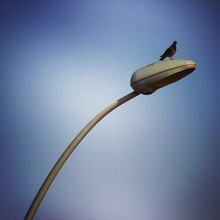 Pigeon Perched In Street Light