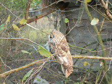 Long-eared Owl (Asio Otus), Also Known As The Northern Long-eared Owl Or, More Informally, As The Lesser Horned Owl Or Cat Owl